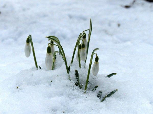 hóvirág2