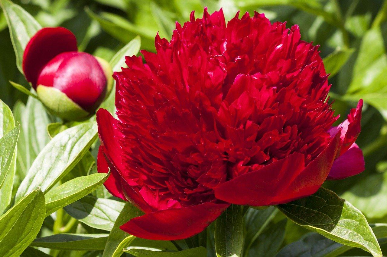 pünkösdi rózsa közös kezelésre