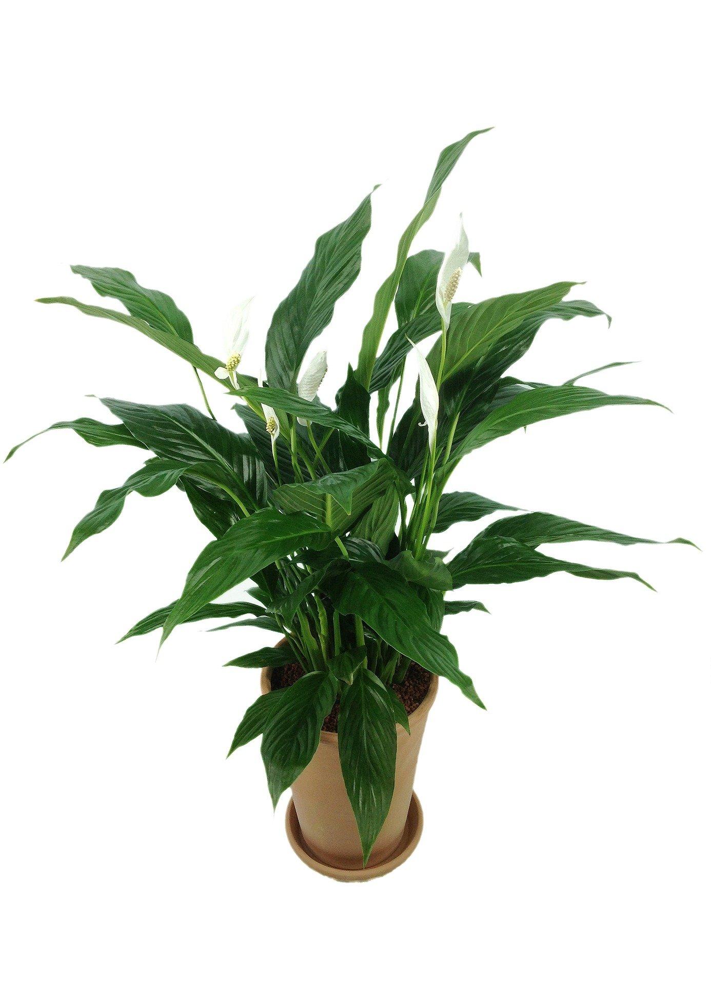 Vitorlavir g vir gz s nak rejt lye balkonada - Giftige zimmerpflanzen ...